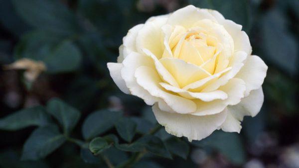 Rosa branca tem origem desconhecida e pode ser plantada com facilidade