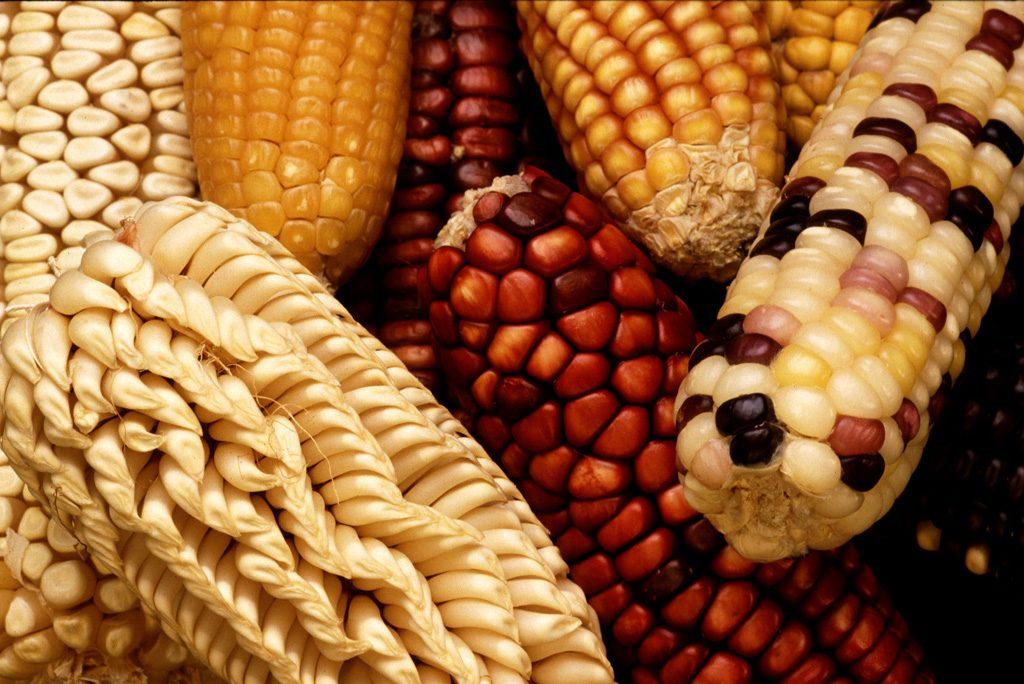 Tipos de milho