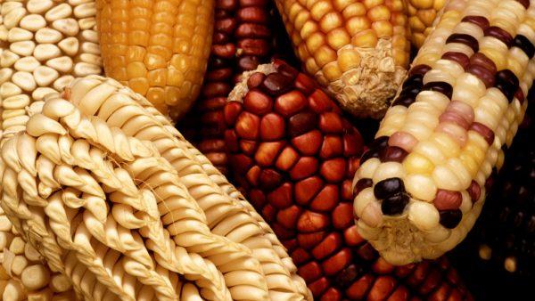 5 tipos de milho mais conhecidos e as suas principais características