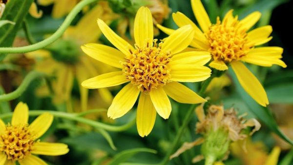Arnica é um gênero com cerca de 30 espécies diferentes de plantas