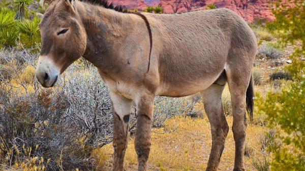 Asno é animal de tamanho médio muito usado no transporte de cargas