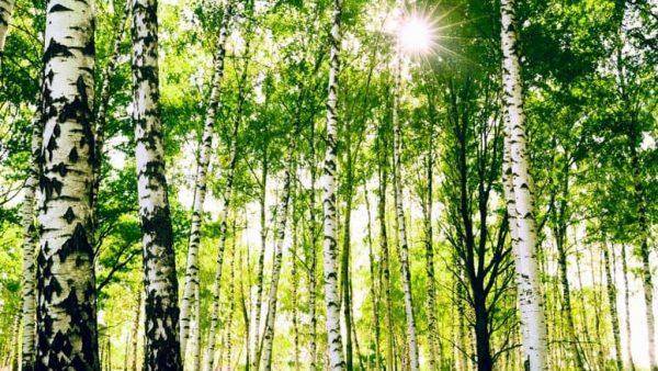 Bétula é uma árvore característica do hemisfério Norte