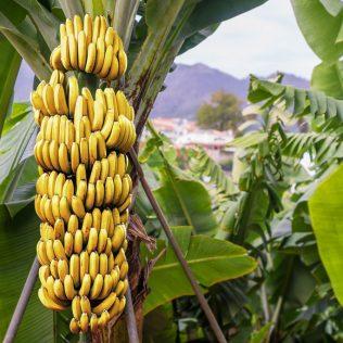 Bananeira tem boa produção em regiões úmidas e quentes