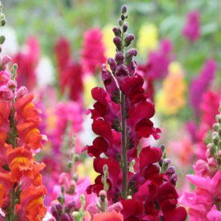 Boca de leão é flor de fácil cultivo amplamente usada no paisagismo