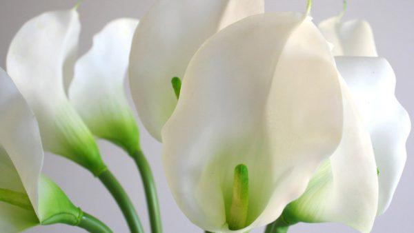 Copo de leite é uma flor muito utilizada para fins ornamentais