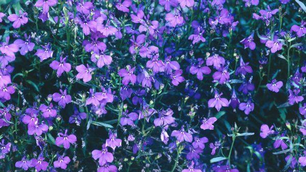 Lobélia é planta anual comum em prados e bosques