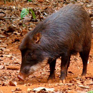 Queixada é um porco silvestre que vive em florestas