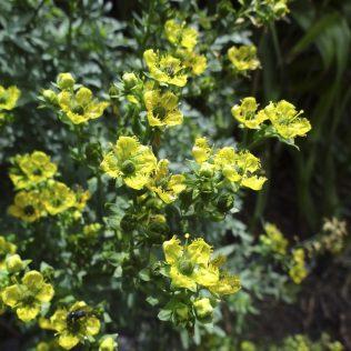 Ruta é o nome dado a plantas herbáceas e semiarbustivas eurasianas