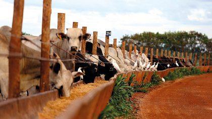 Sal para gado é importante para suplementar a dieta