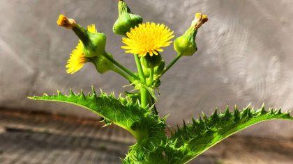 Serralha é uma erva comestível encontrada no mundo todo