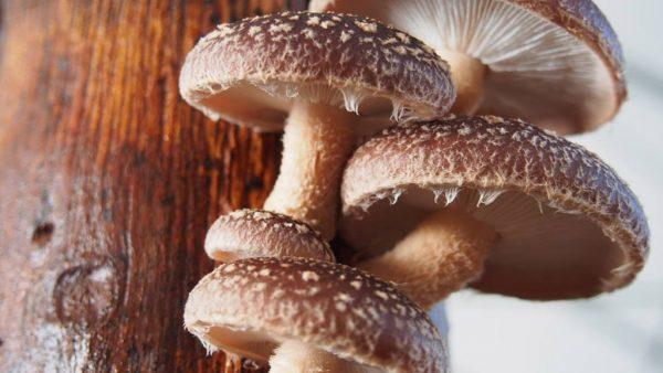 Shitake, cogumelo oriundo da Ásia, é popular na culinária japonesa