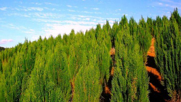 Tuia é um tipo de planta nativa da Ásia oriental e do Norte da América