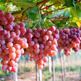 Uva destaca benefícios para a saúde e variedade de tipos cultivados
