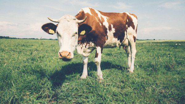 Produção de leite é atividade lucrativa e de grande importância no Brasil