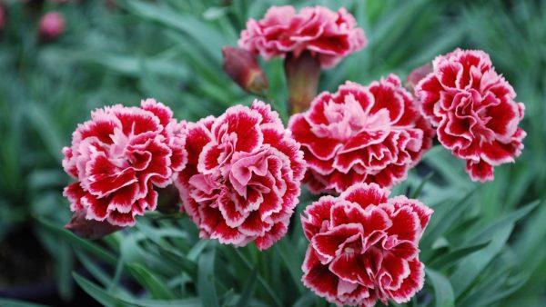 Cravina é uma planta fácil de manter e muito bonita