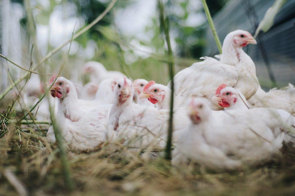frango de corte se destaca na agricultura nacional