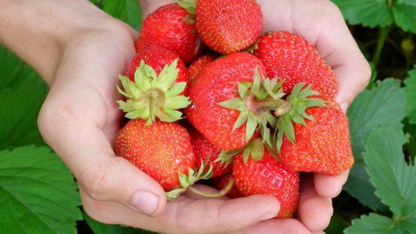 Frutas silvestres são saborosas e trazem benefícios para a saúde