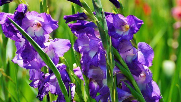 Você conhece o Gladíolo? Essa flor chama atenção por suas cores