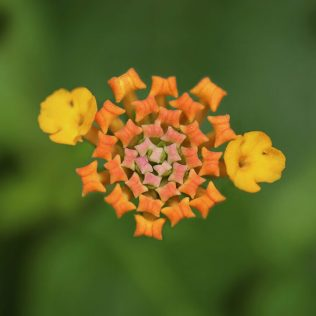 Camará é uma espécie de arbusto que pode ser tóxico
