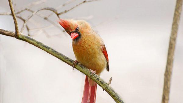Cardeal é ave que se destaca pelo topete eriçado e vermelho intenso