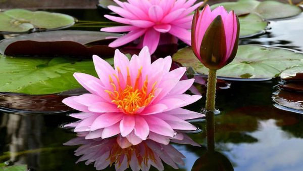 Flor de lótus tem muitos simbolismos e grande mercado