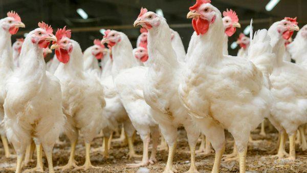 Gripe aviária atinge principalmente aves, mas também seres humanos