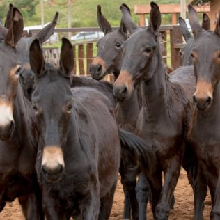 Mula é mamífero originário do cruzamento do asno macho com a égua