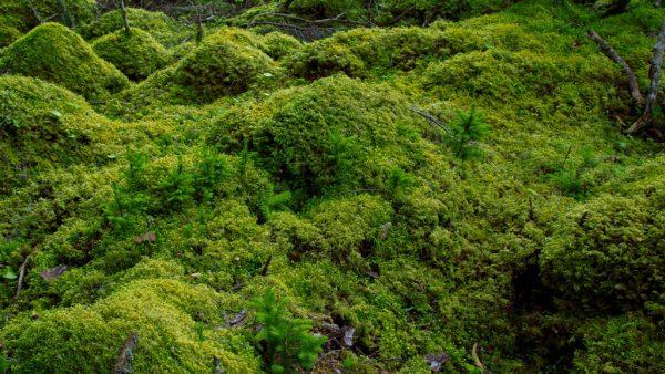 Musgo é planta pequena que pode ser encontrada no mundo todo