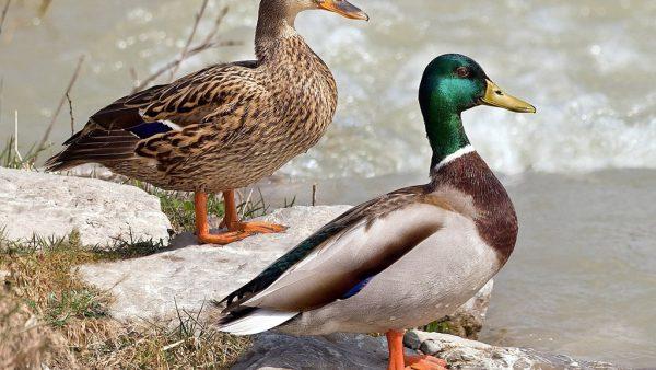 Pato real é ave da América do Norte, Europa e Ásia que vive cerca de 10 anos
