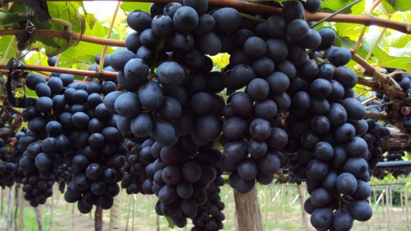 Uva Vitória é uma cultivar que não apresenta sementes