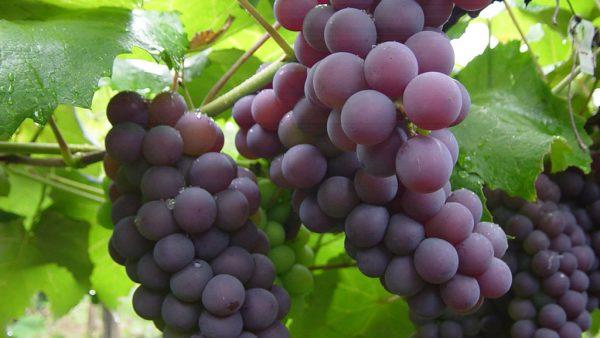 Uva roxa é rica em carboidratos e vitaminas do complexo B