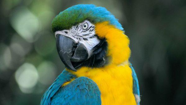 Arara azul, de grande beleza, atualmente é classificada como vulnerável