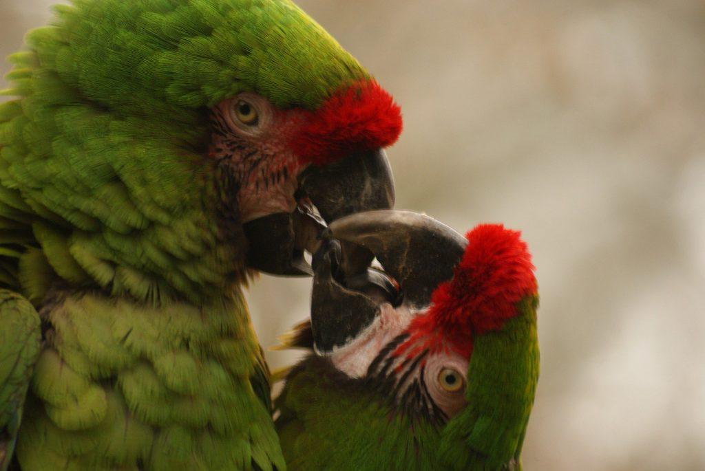 arara maracanã é parecida com papagaio