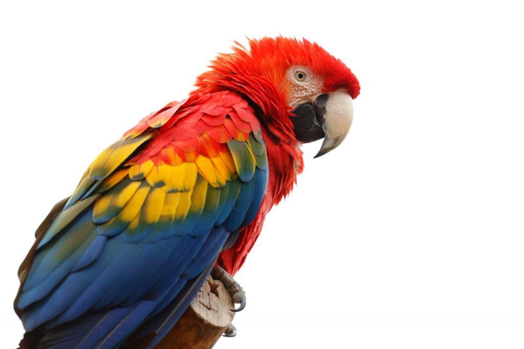 Araracanga tem cor vermelha como cor predominante