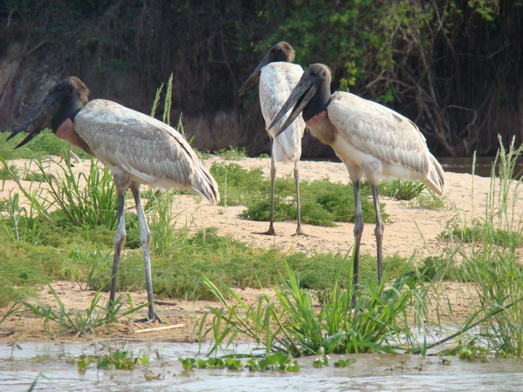 Tuiuius são aves brasileiras encontradas no Pantanal