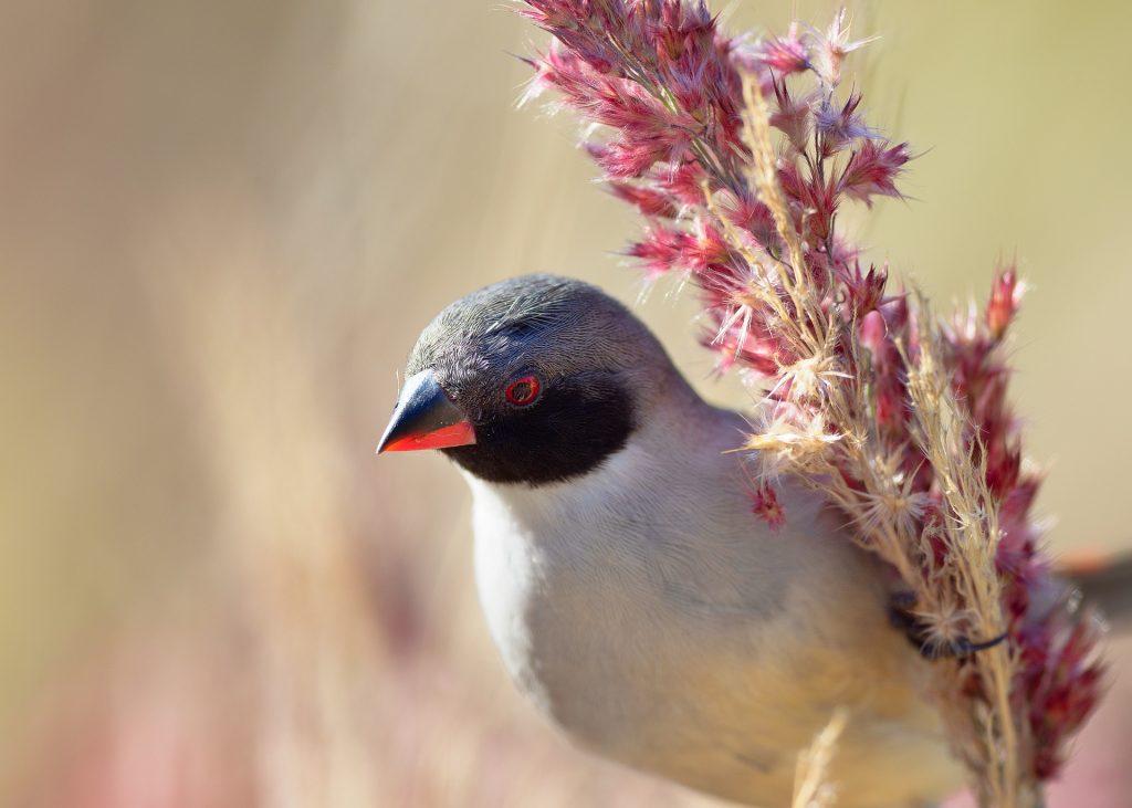 Pássaro bico de lacre pousa sobre um arbusto