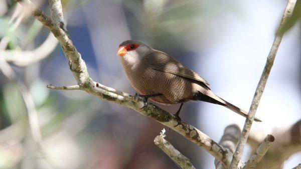 Pássaro exótico, bico de lacre é originário da África