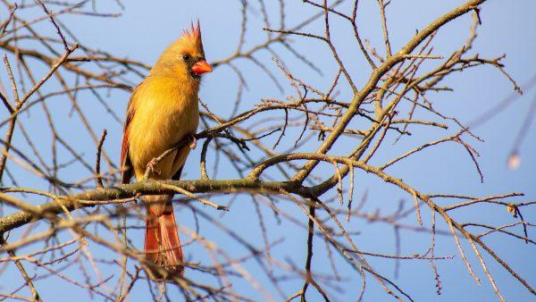 Cardeal amarelo é exótico, pequeno e já foi considerado extinto