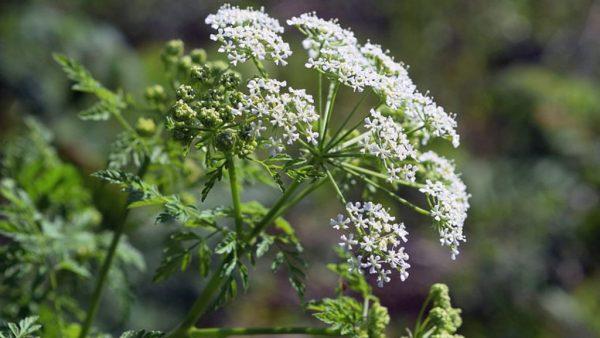 Cicuta é um gênero de plantas que crescem no Hemisfério Norte