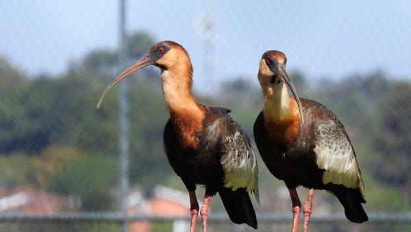 A ave curicaca é comum em áreas semiabertas e beiras de matas