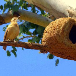 João de Barro é ave símbolo da Argentina, mas muito comum no Brasil