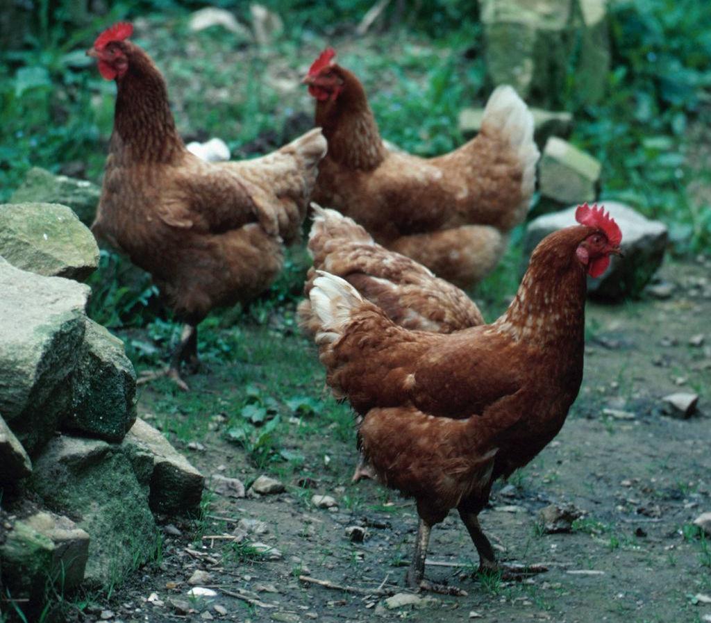 Piolho de galinha