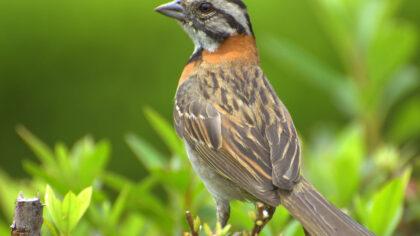 Tico tico, ave comum nas Américas, tem nome derivado do tupi
