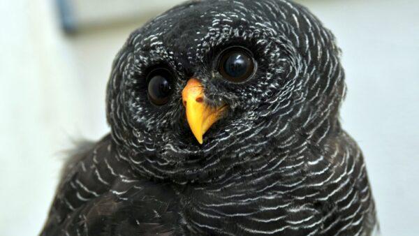 Coruja preta possui beleza intrigante e habita países da América do Sul