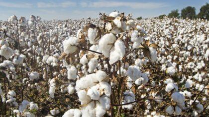 Cotonicultura: produção de algodão vem se destacando no Brasil