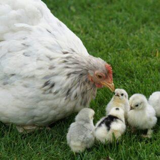 Criação de aves tem importante papel na economia do país