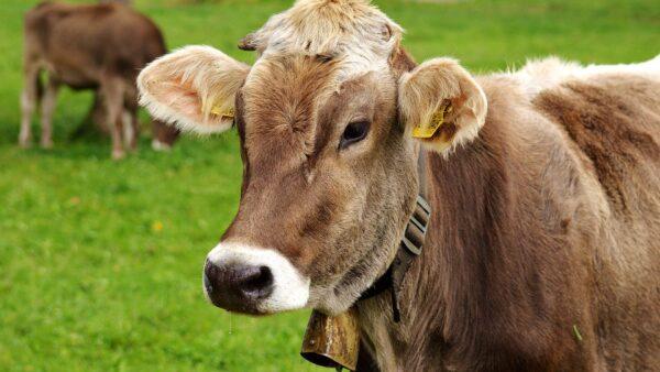 Descorna de bovinos pode trazer benefícios ao criador e para o animal