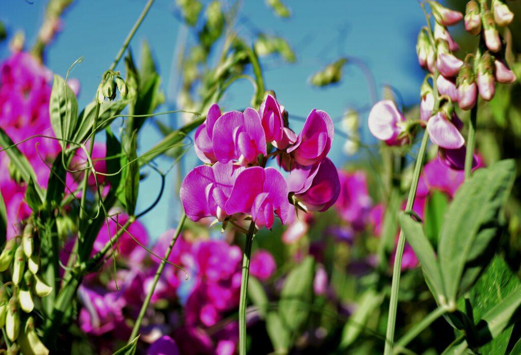 Flor colorida da ervilhaca
