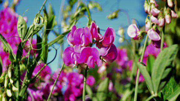 Ervilha de cheiro é uma flor perfumada, colorida e tóxica