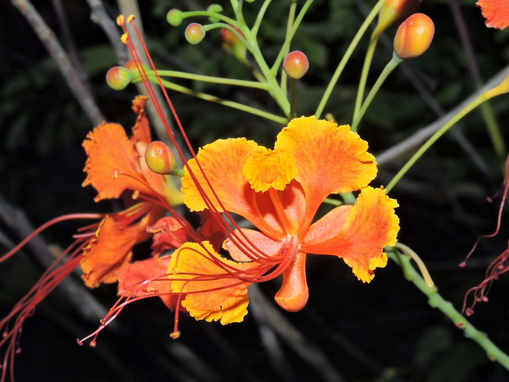 Fabaceae